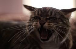 Nie zadzieraj z kotem. Wściekły kot