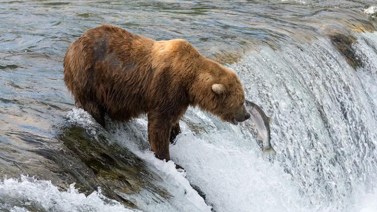Na żywo niedźwiedzie brunatne łowią pstrągi na Alasce