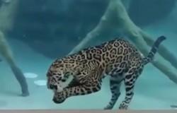 Jaguar nurkuje na ponad 30 sekund