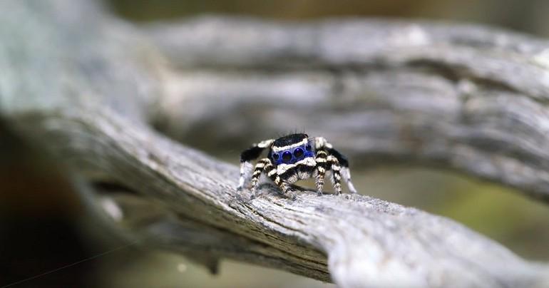 """Śmiesznie tańczący pająk """"Blue Face"""""""