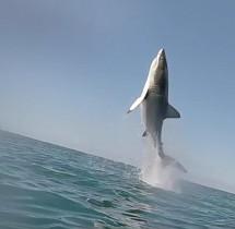 Niesamowity skok żarłacza białego - rekina. Całkowicie nad wodą.