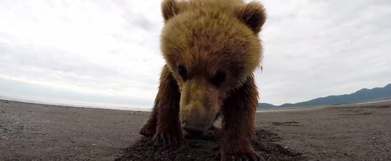 Niedźwiedź Grizzly i kamera