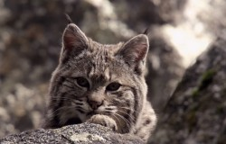 Lynx i jej kociaki w Yosemite