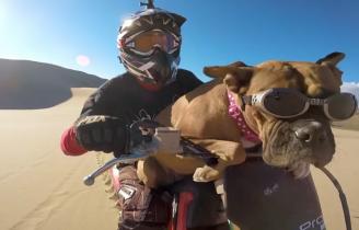 Pies lubiący piasek i szybką jazdę