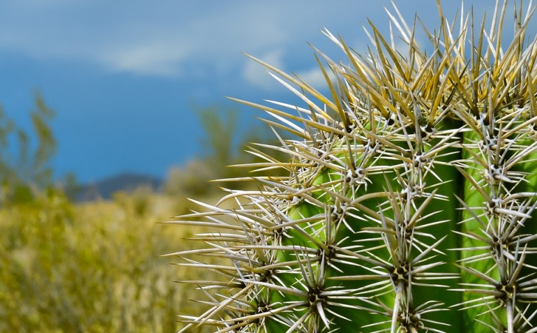 Zwyczajne kaktusy mogą pomóc w budowie ogniw paliwowych.