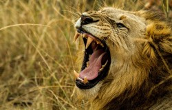 Atak lwa na dziecko. Dzikie koty atakują od tyłu.