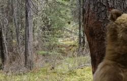 Tańczące niedźwiedzie przy drzewach
