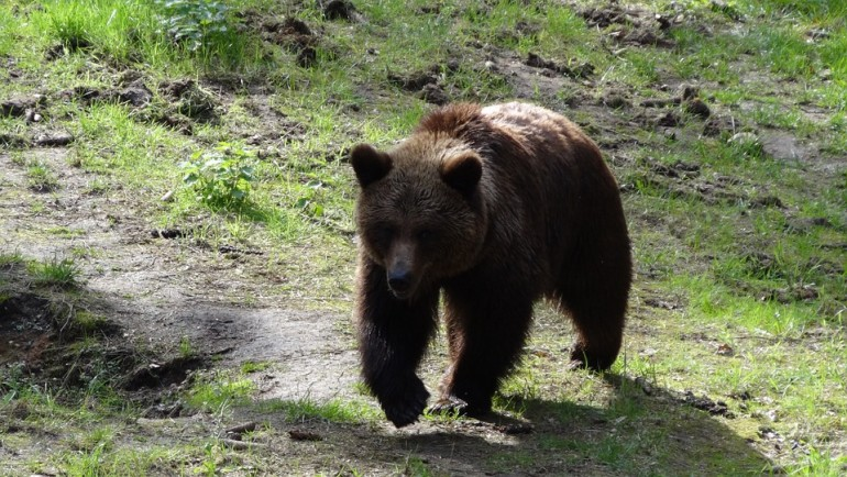 Uwaga niedźwiedź - śmieszne spotkania z misiem